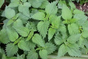 Stinging Nettle and its Uses